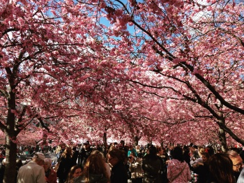 Have you seen the cherry blossoms?